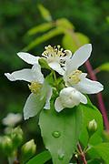mock orange white flower shrub native