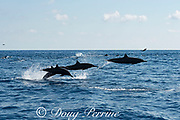 eastern spinner dolphin, Stenella longirostris orientalis, porpoising at high speed, offshore from southern Costa Rica, Central America ( Eastern Pacific Ocean )