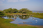 Landscape showing waterlogged swamp area on Bundala National Park with a variety of wading birds