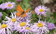 A Lustrous Butterfly Hovers Over Asters in Yankee Boy Basin Colorado