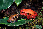A male (left) and female tomato frog (Dyscophus antongilii), illustrating sexual dimorphism in the species, a native of Madagascar.