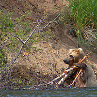 USA, Alaska, Katmai. Grizzly bear with tree branches in river.