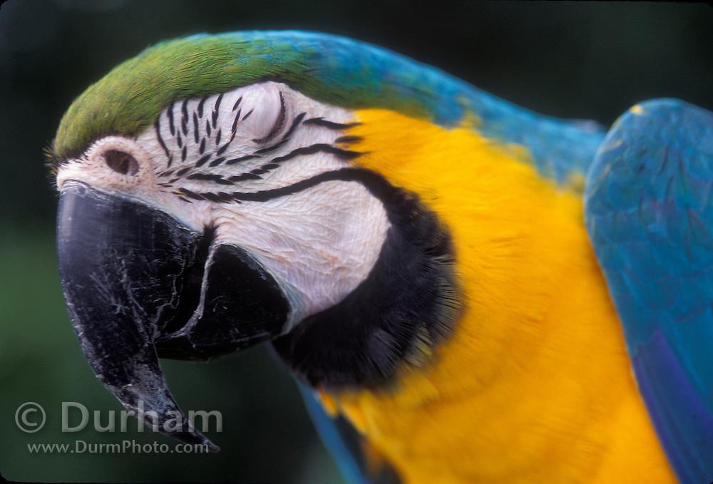 Portrait of a blue and yellow macaw (Ara ararauna). Native to Eastern Panama to NE Brazil.