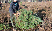 Woman collecting real Christmas tree from heathland near Hollesley, Suffolk, England