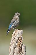 Mountain Bluebird - Sialia currucoides - juvenile