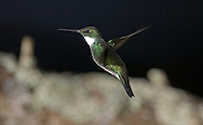 White-throated Hummingbird - Leucochloris albicollis