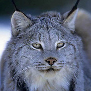 Canada Lynx, (Lynx canadensis) Montana. Portrait of adult. Winter. Captive Animal.