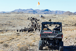 ATV with tourists pushing bison herd across rolling hills during bison roundup, Ladder Ranch, west of Truth or Consequences, New Mexico, USA.