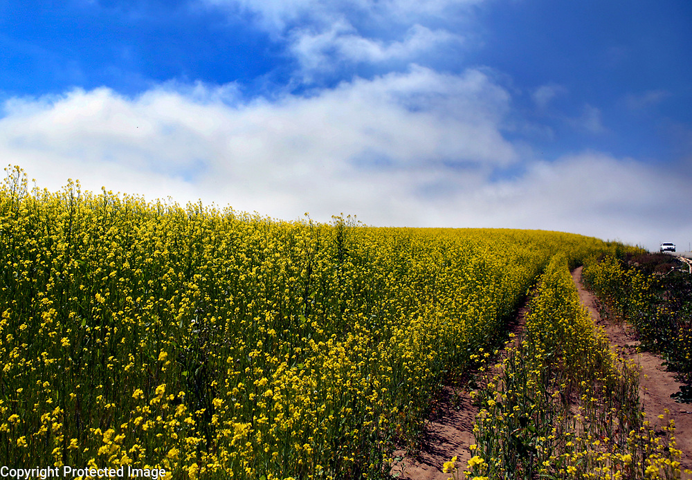 A yellow blanket of a mustard cover crop fills a field along Ranport Road between Buena Vista  Drive and Airport Blvd. in Watsonville, California  on a field where strawberries grew until recently. According to Brassica and mustard cover crops are known for their rapid fall growth, great biomass production, and nutrient scavenging ability. However, they are attracting renewed interest primarily because of their pest management characteristics..<br /> Photo by Shmuel Thaler <br /> shmuel_thaler@yahoo.com www.shmuelthaler.com