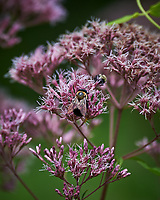 Bumble Bee on Joe Pye's Weed. Image taken with a Nikon D4 camera and 80-400 mm VR lens.