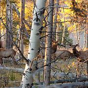 Elk(Cervus canadensis) (Cervus elaphus) herd in Yellowstone National Park.