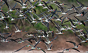 Flock of African skimmers (Rynchops flavirostris) from the White Nile, Uganda.