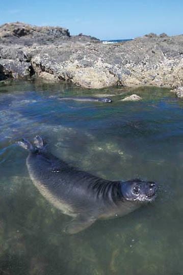 Northern Elephant Seal, (Mirounga angustirostris)  Weaner playing in tidal pool. San Benito Island. Mexico.
