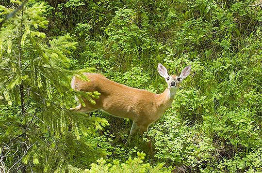 Whitetail Deer (Odocoileus virginianus) Female doe browsing in forest. Montana.