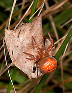 Strawberry Spider - Araneus alsine, Araneidae. Very local spider of wet heathland and woodland rides.