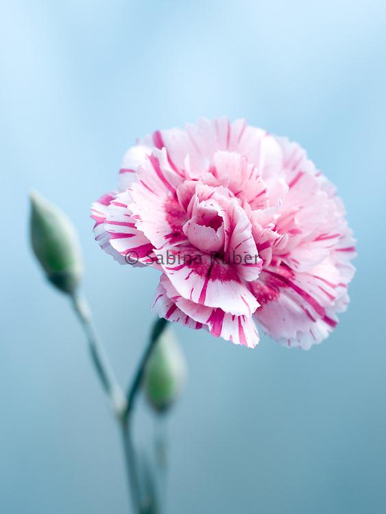 Dianthus plumarius 'Doris' - cottage pink