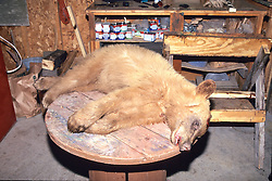 Dead Black Bear In Brown Phase