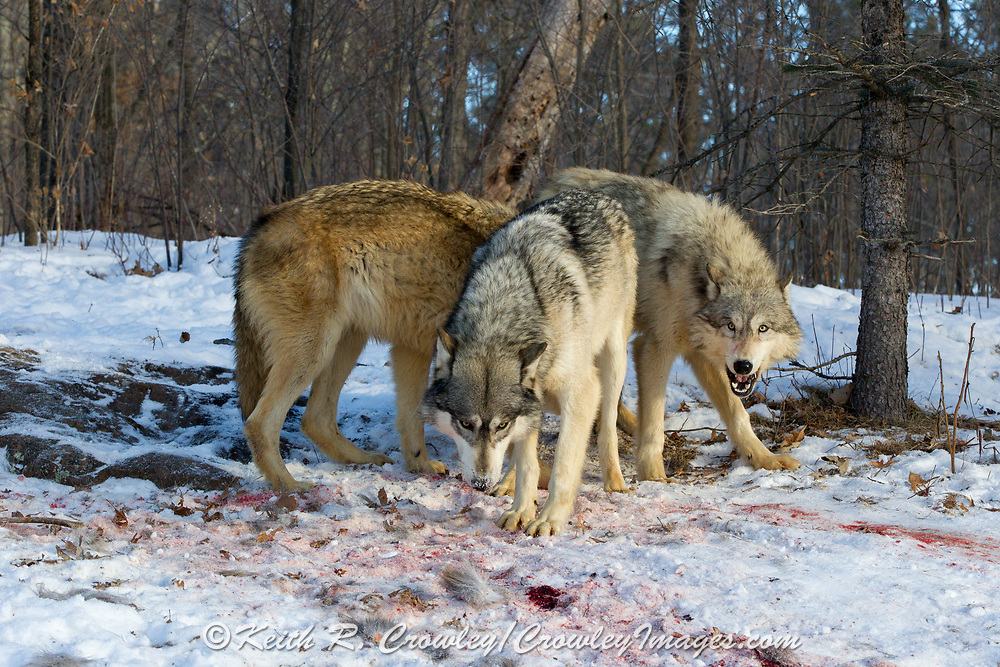 A pack of gray wolves at a kill site in wooded winter habitat. Captive pack.