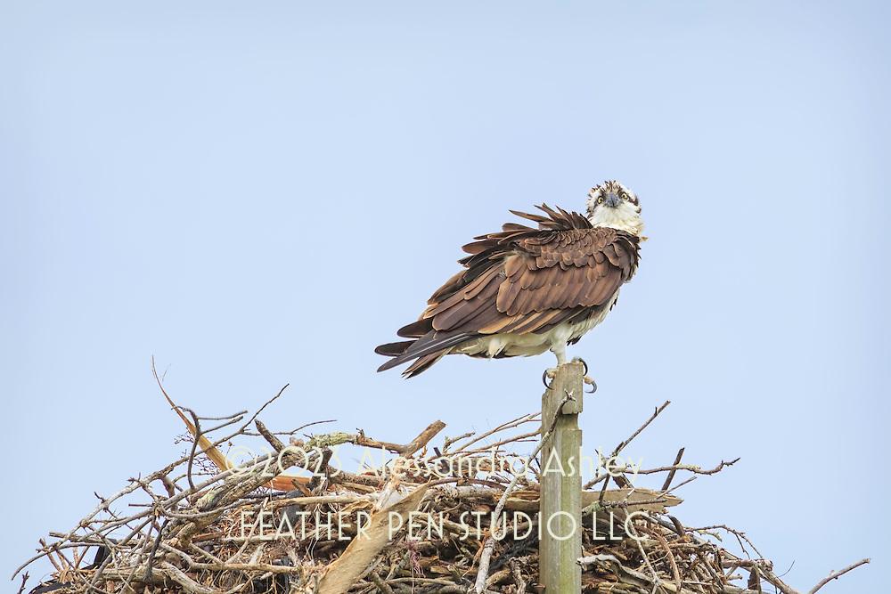 Osprey guarding nest, perched on nesting platform.  Lighthouse beach, Sanibel Island, FL.