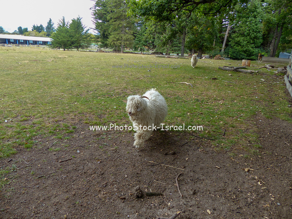 Sheepdog running on a sheep farm. Photographed in New Zealand, South Island