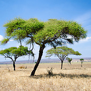 Some acacia trees next to the edge of the swamp plains at Tarangire National Park in northern Tanzania not far from Ngorongoro Crater and the Serengeti.