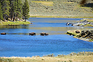 Bison Crossing Yellowstone River, Yellowstone National Park