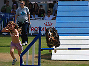 Israel, Tel Aviv, The International Dog Show 2010 Australian Shepherd on an obstacle course