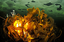 Kelp, Laminariales, seaweed and scuba diver under ice, icediving, Russia, White Sea, MR