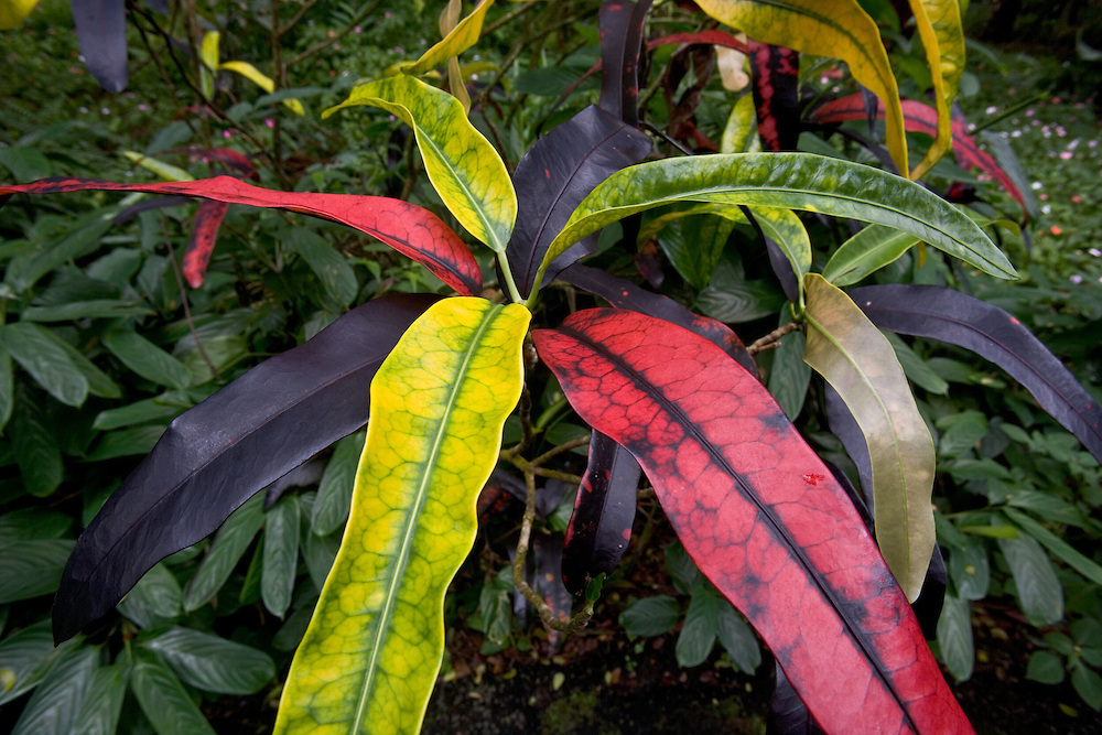 Multi-colored plant resembles a jester on the Big Island of Hawaii