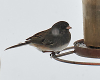 Dark-eyed Junco (Junco hyemalis). Image taken with a Leica CL camera and 90-280 mm lens.