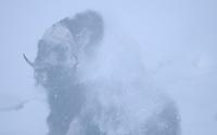 Muskox, (Ovibos moschatus) dovrefjell national park , norway, february