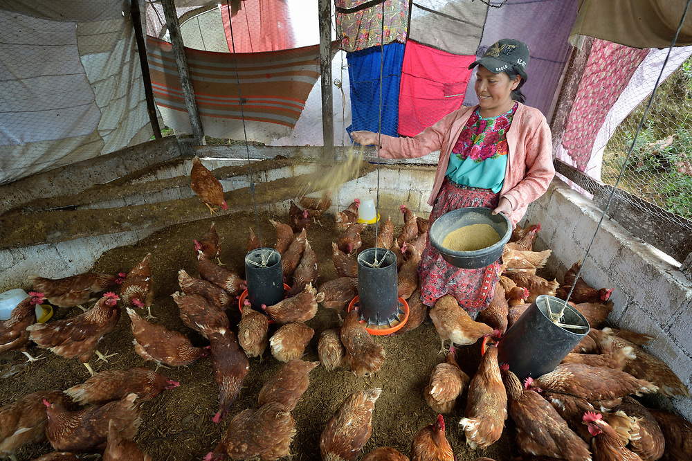 Maria Oralia Jiguan feeds chickens in a women's cooperative poultry raising project in Buena Vista Bacchuc, a small Mam-speaking Maya village in Comitancillo, Guatemala. The project is assisted by the Maya Mam Association for Investigation and Development (AMMID).