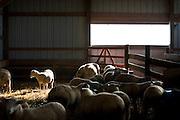 WESTBY, WI — DECEMBER 9: Adolescent sheep walk through their enclosure at the Hidden Springs Creamery farm.