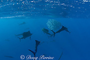 Atlantic sailfish ( Istiophorus albicans or Istiophorus platypterus ) use cooperative hunting techniques to herd sardines into a bait ball at the surface for easier feeding, Yucatan Peninsula, Mexico ( Caribbean Sea )