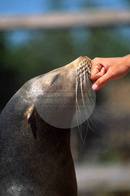 A trainer comforts a California Sea Lion at the Dolphin Research Center  June 27, 1996 in Marathon Key, FL.  The center is where the original Flipper was trained and specializes in returning trained dolphins to the wild.