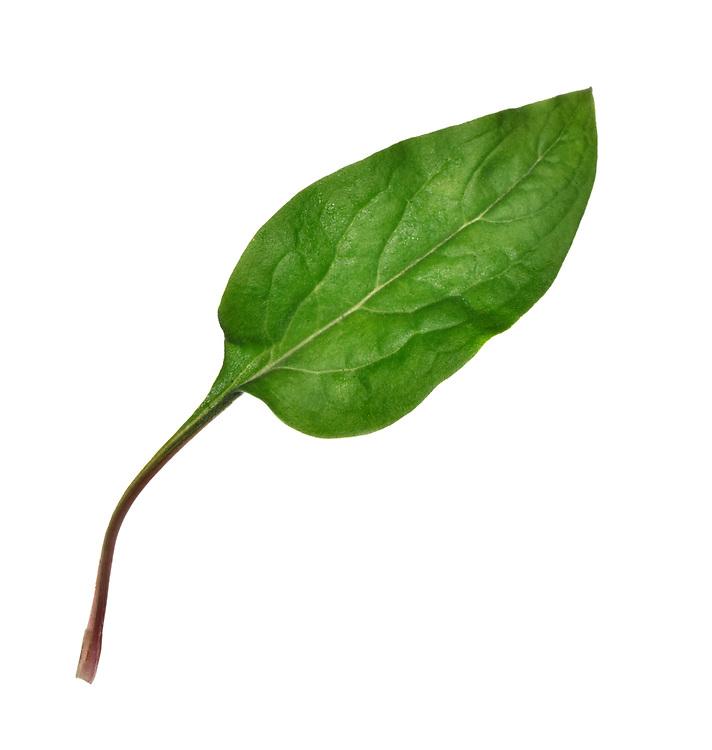 Hound's-tongue - Cynoglossum vulgare