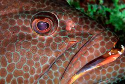 tiger grouper, Mycteroperca tigtis, Sergeant Major Reef, Cayman Brac, Cayman Islands, Caribbean Sea, Atlantic Ocean