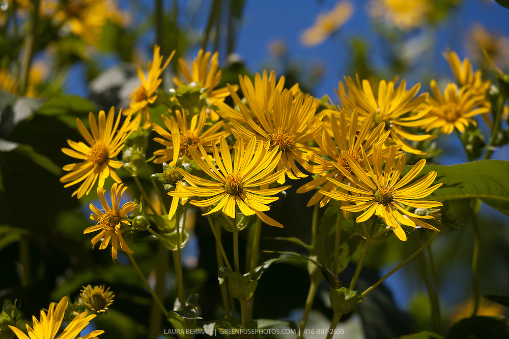 Yellow daisy-like flowers of the Cup Plant (Silphium perfoliatum.)