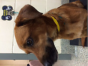 """EXCLUSIVE<br /> Beloved Dog Kicked by Horse and Critically Injured<br />  <br /> """"Jack"""" on the Mend after Life-Saving Surgery at Angell Animal Medical Center<br />  <br /> BOSTON, June 9, 2014 – A one-year-old dog named """"Jack"""" is lucky to be alive after he suffered catastrophic injuries to his jaw and teeth when he was kicked square in the face by a 2,200-pound draft horse in May, the MSPCA-Angell announced today.  Jack is recovering after emergency surgery at the MSPCA's Angell Animal Medical Center.<br />  <br /> The beloved dog, rescued from the streets of Belize last year by his owner, Megan Gaffney of Framingham, Mass., had just returned from a long trail walk on May 18 with Gaffney, who was riding her horse Cyrano, when he grew inpatient waiting for Gaffney to finish untacking and turning Cyrano out to pasture.  Jack playfully raced after one of the other horses in the barn who became frightened and kicked the 33-pound Jack with her back hooves.<br />  <br /> Gaffney, who is deaf and could not hear Jack's yelp, saw the injured dog limp away from the horse and rushed to his aid.  """"I saw blood covering his entire snout and my heart immediately sank,"""" she said later.  """"I really thought I would lose him given how badly injured he was.""""<br />  <br /> Saved by an e-collar and emergency surgery<br /> Ironically, a previous health scare might have saved Jack's life.  He was wearing an """"e-collar"""" cone around his neck, a result of a benign growth removal a week before the run-in with the horse.  """"I have to believe the collar absorbed some of the shock,"""" said Gaffney.  Still, she wasted no time rushing Jack to the animal emergency room and, ultimately to Angell's specialized dentistry service.<br />  <br /> Jack arrived on the operating table of Angell's Dr. William Rosenblad on May 19, and he spent over two hours putting the young dog back together.  """"Jack was in very rough shape when he first came in and, to be honest, I'm surprised he survived the accident,"""" said Dr. """