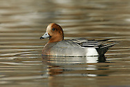Wigeon (male) Mareca penelope L 45-47cm. Males are colourful and attractive. Forms large flocks outside breeding season. Sexes are dissimilar. Adult male has mainly orange-red head with yellow forehead. Breast is pinkish; rest of plumage is mainly finely marked grey except for white belly and black and white stern. In flight, has white patch on wing. Bill is pale grey and dark-tipped. In eclipse, resembles an adult female although white wing patch is still evident. Adult female is mainly reddish brown, darkest on head and back. Note, however, the white belly and stern. In flight, lacks male's white wing patch. Bill is grey and dark-tipped. Juvenile resembles adult female. Voice Male utters evocative wheeeoo whistle.