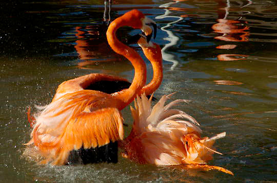 Caribbean or West Indian Flamingo (Phoenicopterus ruber ruber) Fighting in the water. San Diego Zoo.  Captive Animal.