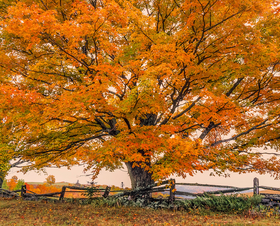 Majestic sugar maple tree in fall with stonewall & rail fence, Peacham, VT