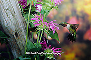 01162-05820 Ruby-throated Hummingbird (Archilochus colubris) male at Bee Balm(Monarda sp.) Shelby Co. IL