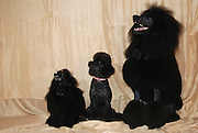 Three poodle breeds: black standard poodle, black miniature poodle and black dwarf poodle