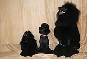 Three poodle breeds: black standard poodle, black miniature poodle and black dwarf poodle