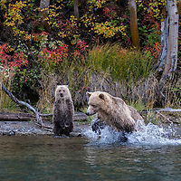 Sow grizzly bear fishing for sockeye salmon in Chilko River, British Columbia, Canada as her cub stands watching.