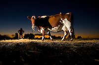 Dairy cow at Bernie Mannes farm at Strathfieldsaye near Bendigo. Pic By Craig Sillitoe melbourne photographers, commercial photographers, industrial photographers, corporate photographer, architectural photographers, This photograph can be used for non commercial uses with attribution. Credit: Craig Sillitoe Photography / http://www.csillitoe.com<br /> <br /> It is protected under the Creative Commons Attribution-NonCommercial-ShareAlike 4.0 International License. To view a copy of this license, visit http://creativecommons.org/licenses/by-nc-sa/4.0/.
