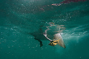 Brown Pelican (Pelecanus occidentalis urinator)<br /> Buccaneer Cove, Santiago Island<br /> Galapagos<br /> Ecuador,  South America