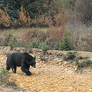 Black Bear, (Ursus americanus) Adult in southern Colorado. Captive Animal.