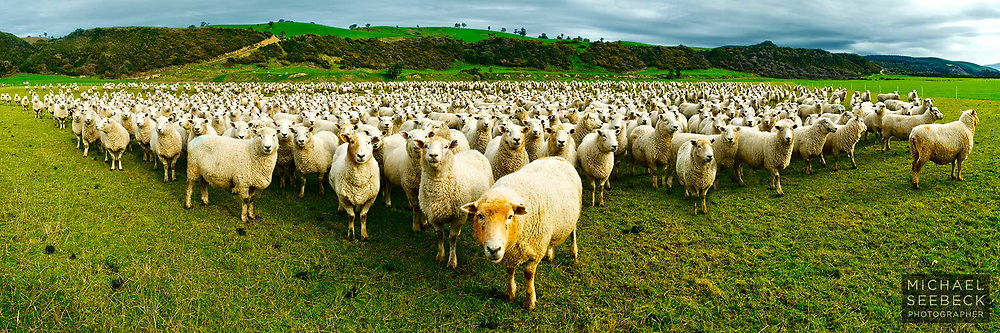 A panoramic photograph of a large herd of sheep on a farm in the South Island of New Zealand.<br /> <br /> Code: HZSS0001<br /> <br /> Limited Edition print